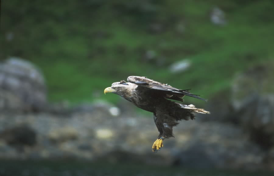 Mull White Tailed Eagles