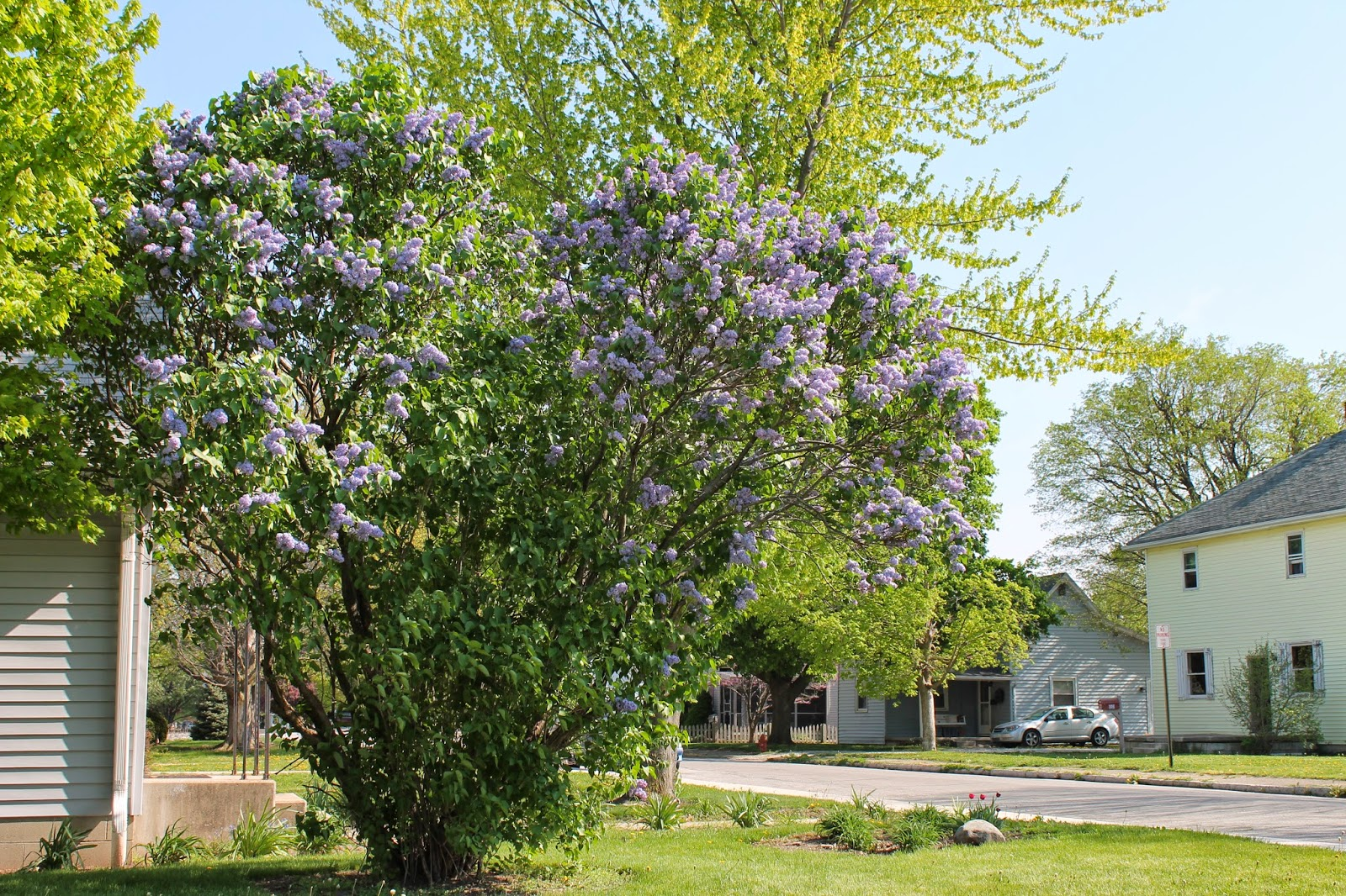 Shejunks flowering trees this is the lilac bushtree that my sister and i stood near just so we could smell that wonderful scent this picture just doesnt show how very blue izmirmasajfo
