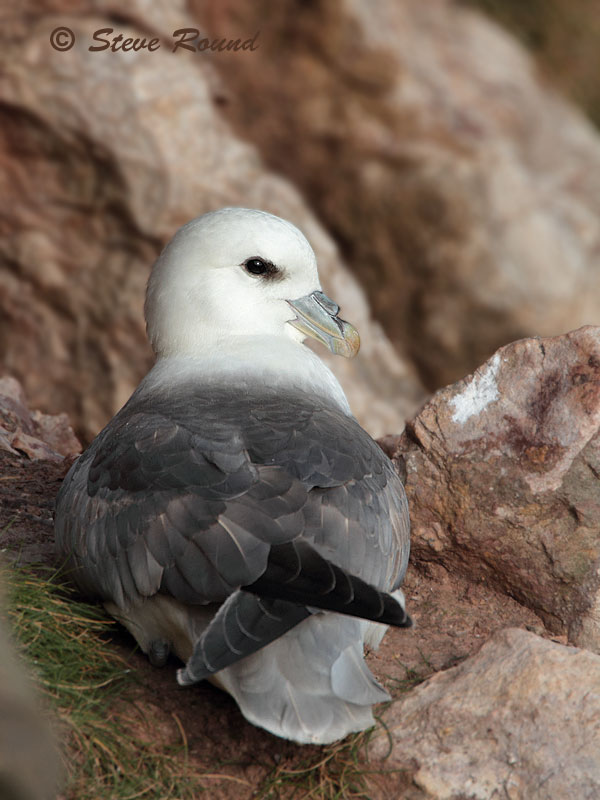fulmar, seabird, bird, nature, wildlife