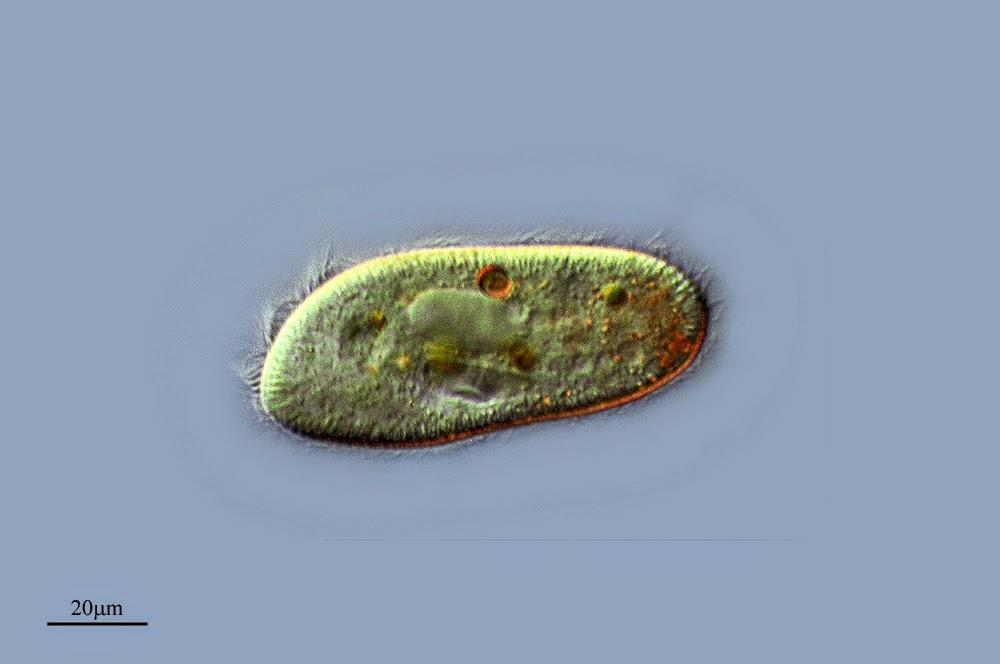 Paramecium trichium