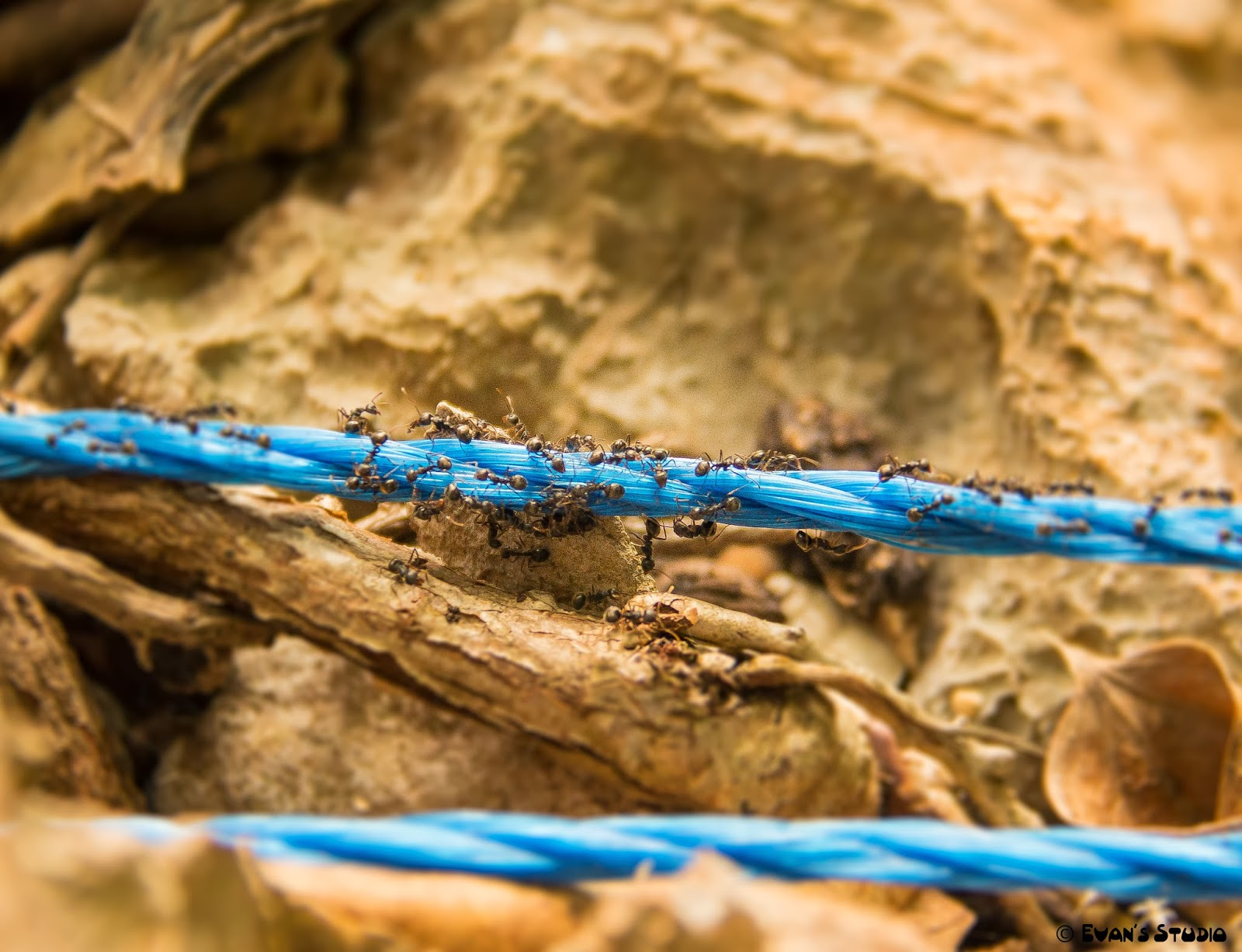 Worker ants are climbing across a piece of rope along the hiking trail at Apulit Island Resort.