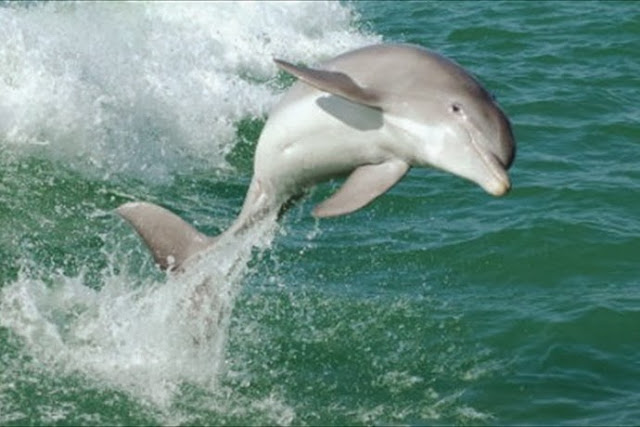 Baby dolphin saved from plastic bag thanks fishermen with dance (Video)
