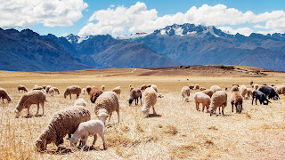 Peru Sheep Fields free background download for desktop