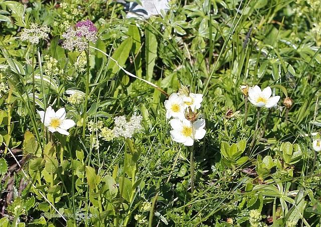 Anemone narcissiflora im Toten Gebirge