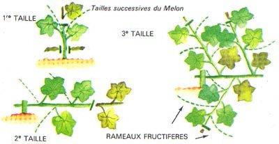 Agriculture le melon botanique les vari t s les - Culture du melon charentais ...