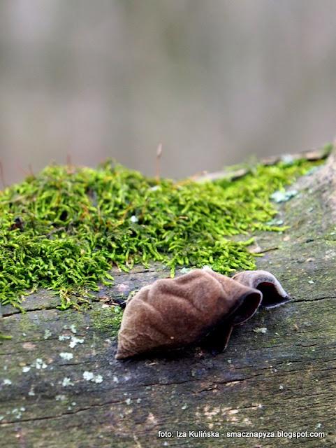 uszaki bzowe , grzyby nadrzewne , grzybki , grzyby jadalne , atlas grzybów , grzyby gatunkami , ucho judasza , wiosna ,  zarośla łęgowe , spacer , wycieczka ,  nad wisłą ,