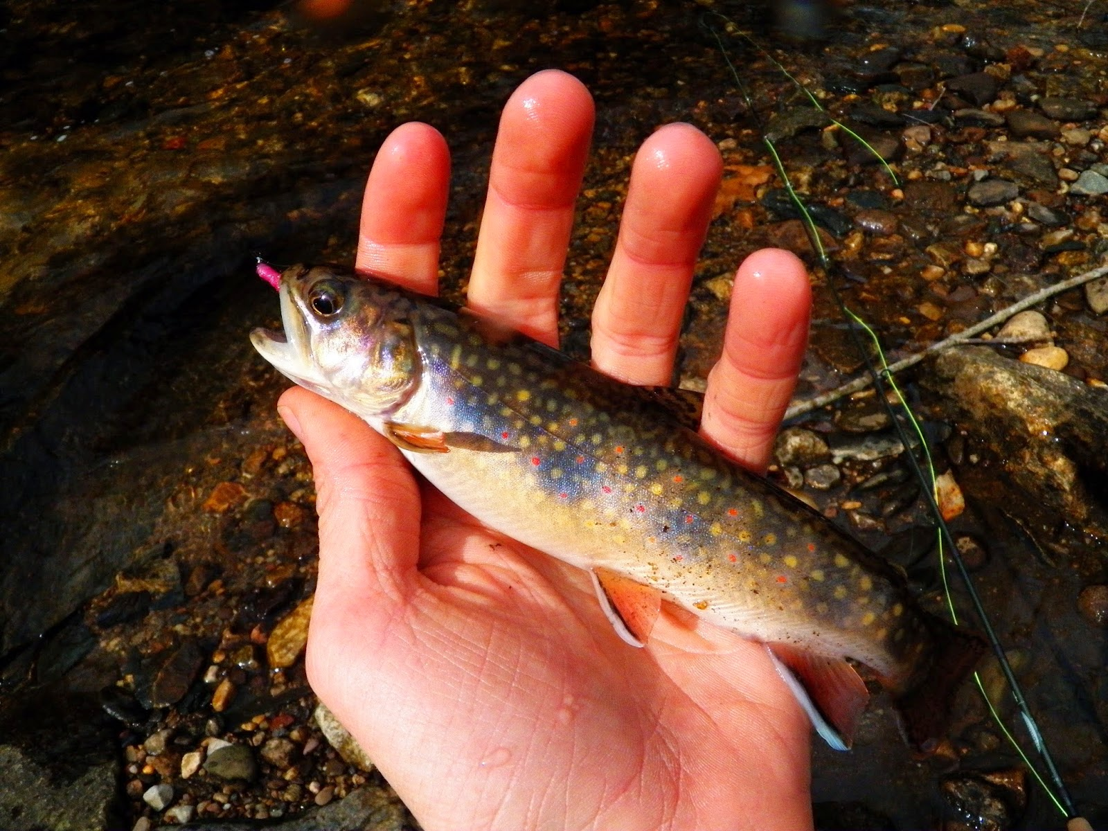 Connecticut fly angler best trip in well months for Best trout fishing in ct