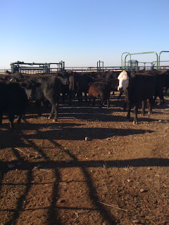 feedlots, cattle, animal rights, videoing, ag gag laws, California, animal welfare