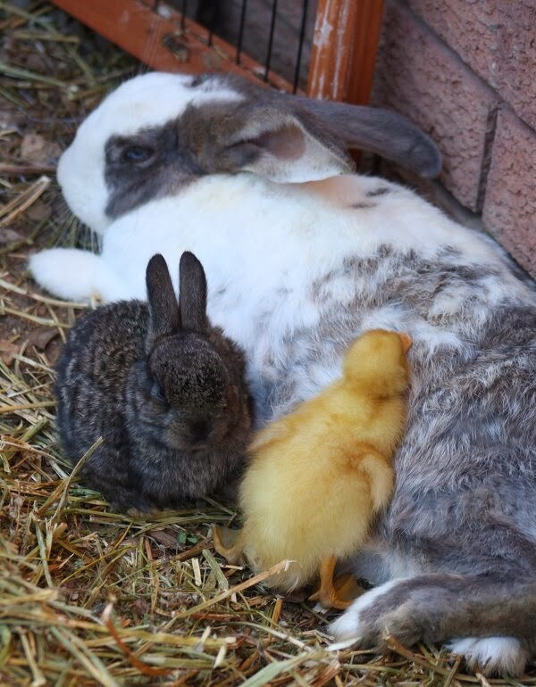 Funny animals of the week - 22 November 2013 (35 pics), baby chick cuddling with bunny
