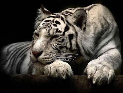 White Tiger Wallpapers 08