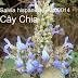 Hạt giống hạt Chia - Salvia hispanica
