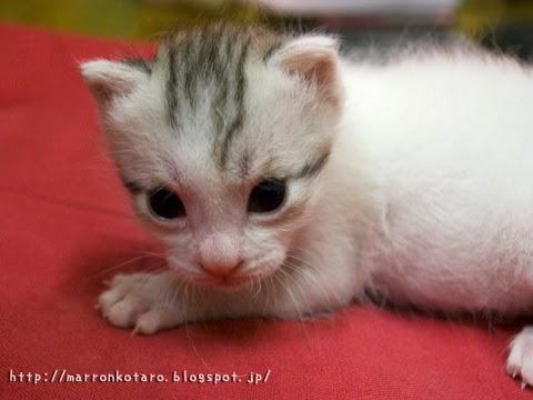 子猫の写真 横耳