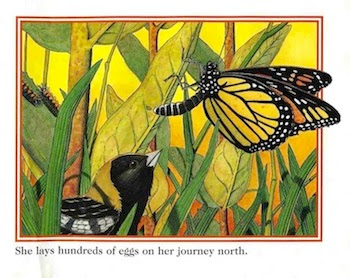 sample page #1 from A MONARCH BUTTERFLY'S LIFE  by John Himmelman