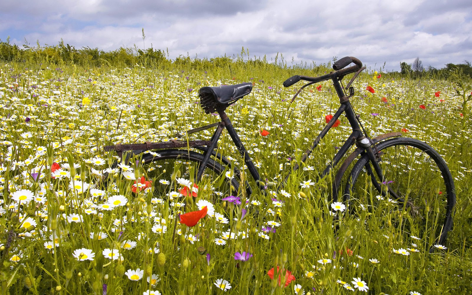 Vintage Bicycle Between Daisy Flowers HD Wallpaper