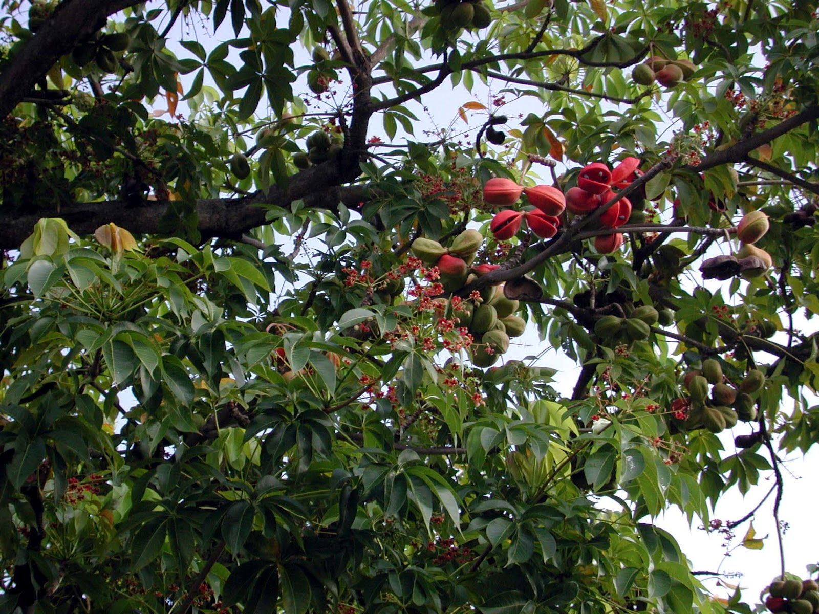 Not a tree for most back yards the skunk tree hawaii horticulture the fruit of the skunk tree are decorative both izmirmasajfo