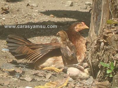 Ayam Istirahat