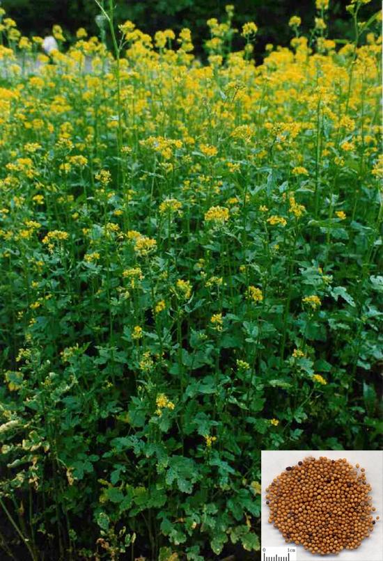 Sinapis alba (L.) Boiss. (Fam. Brassicaceae)
