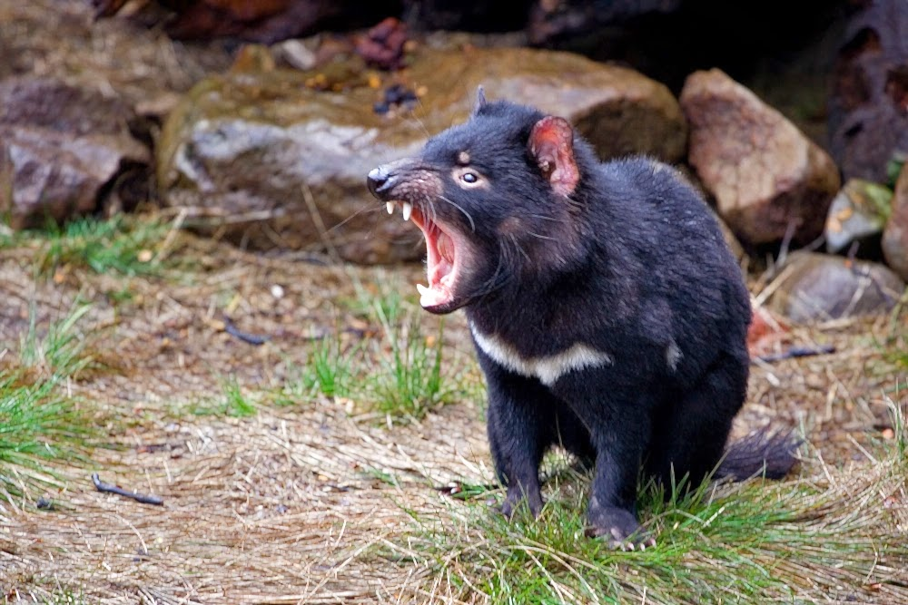 gambar binatang setan tasmania nama hewan dari huruf S