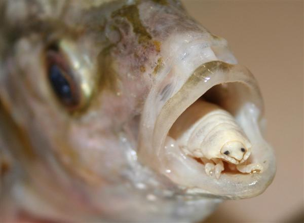 Parasite of the day july 2012 for Parasite that eats fish tongue