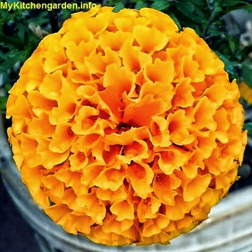 Orange marigold flower from a plant grown in a pot.