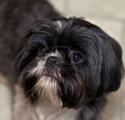 Cute Dogs: Black Shih Tzu Dogs