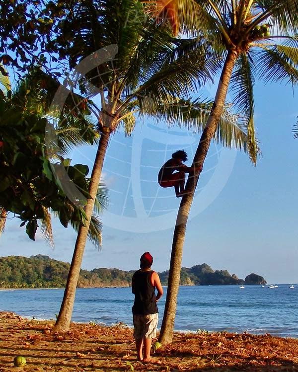 Locales cogiendo cocos. Playa Garza, Península de Nicoya. Costa Rica.