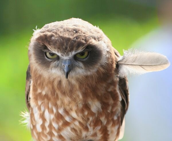 Funny animals of the week - 28 March 2014 (40 pics), angry owl