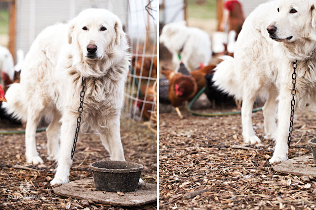 this beautiful life sarha parisi maremma_sheepdog_backyard_chickens_kilpatrick_family_farm_barnyard_animals