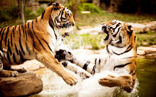 Tigres jugando en el río - Tigers playing -Tigres jouant dans la rivière
