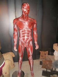 Representación de la anatomía de un ser humano en cuanto a sus músculos.