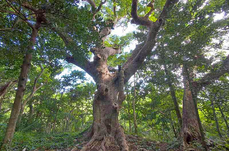 Bischofia tree, Akagi