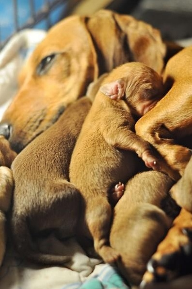 Average Litter Size of Dachshund