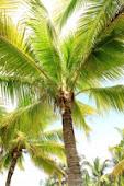 O coqueiro e o banho de sol