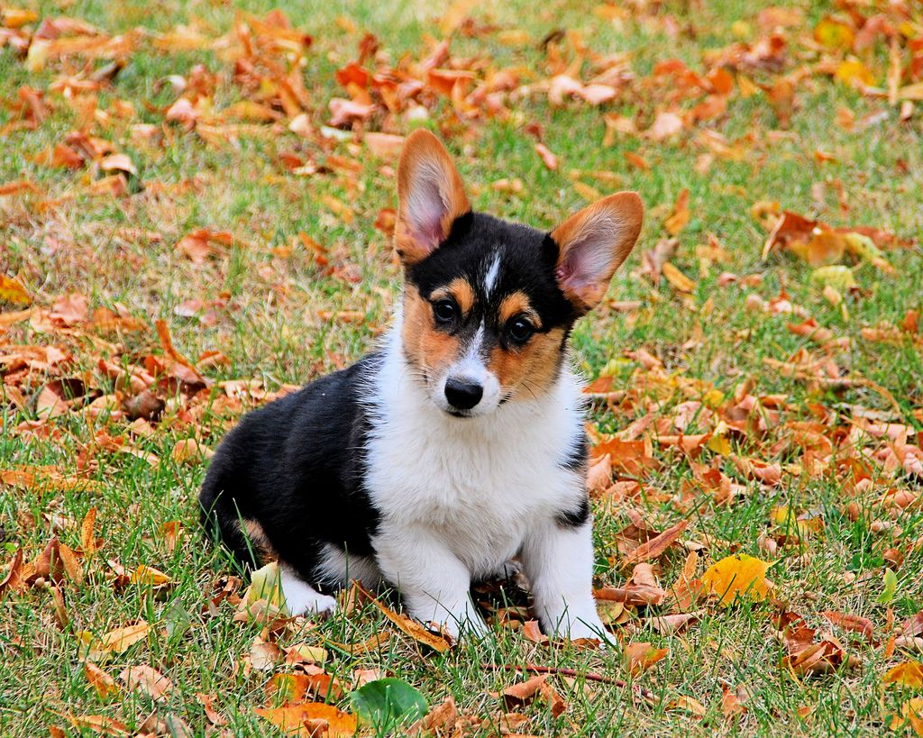6. Corgi with autumn leaves