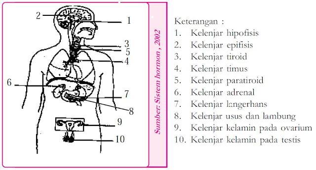 Pengertian, Fungsi dan Macam-macam Hormon serta Kelenjar (Endokrin, Hipofisis, Tiroid, Getah Bening)