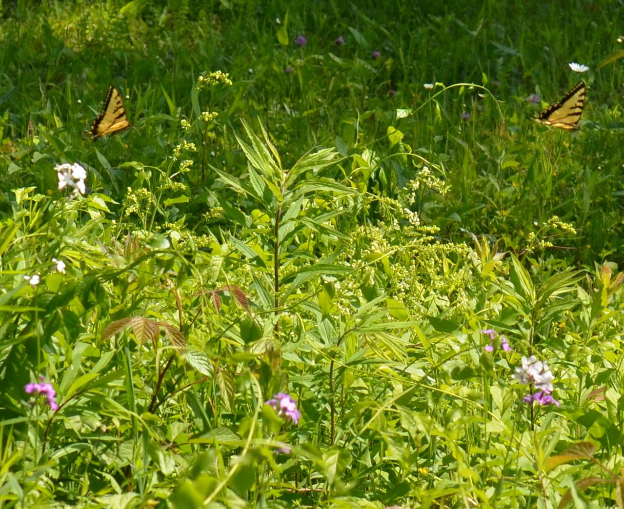 Flower Hill Farm Butterflies 2011 Eastern Tiger