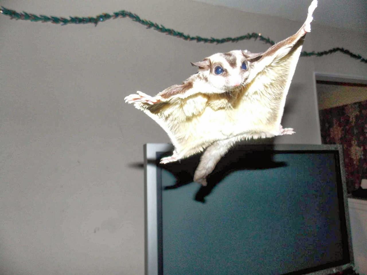 Funny animals of the week - 21 March 2014 (40 pics), funny animal pictures, flying sugar glider