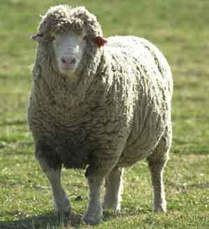 sheep 3