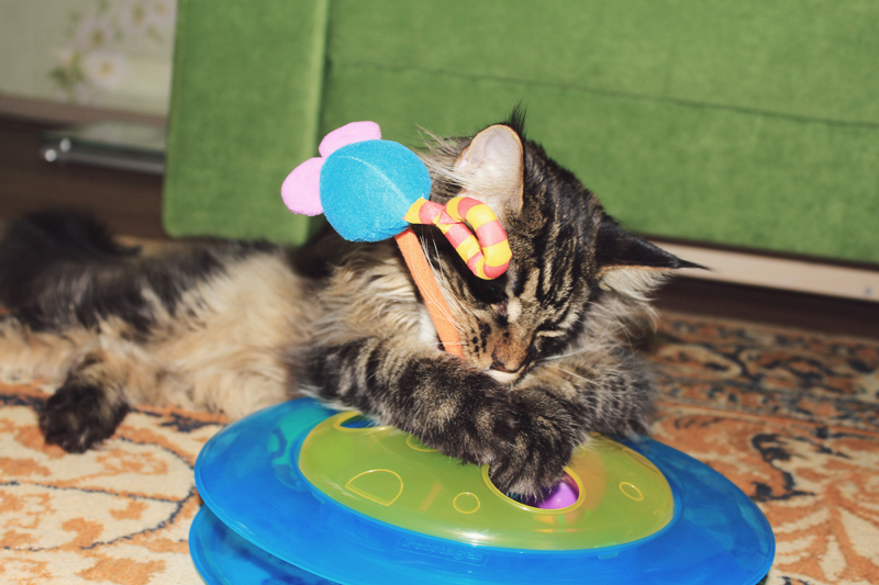 Jacob, cat, Maine Coon