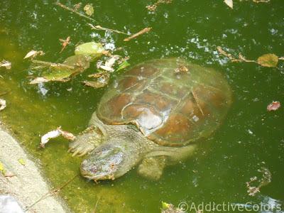 Tarta rughe le vostre immagini for Stagno per tartarughe