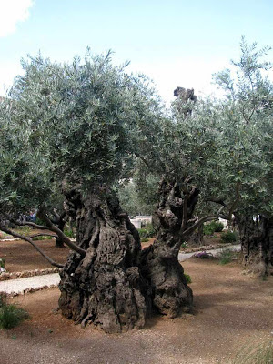 """""""As oliveiras do Getsemani estão entre  as mais antigas árvores de folha larga do mundo""""."""