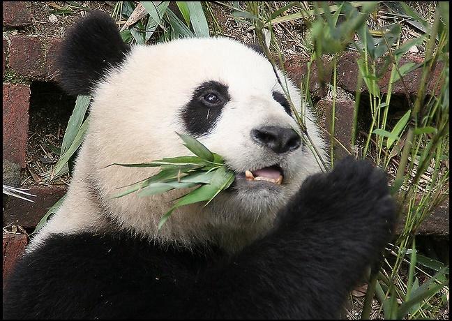 Osos-Panda-Sichuan-China
