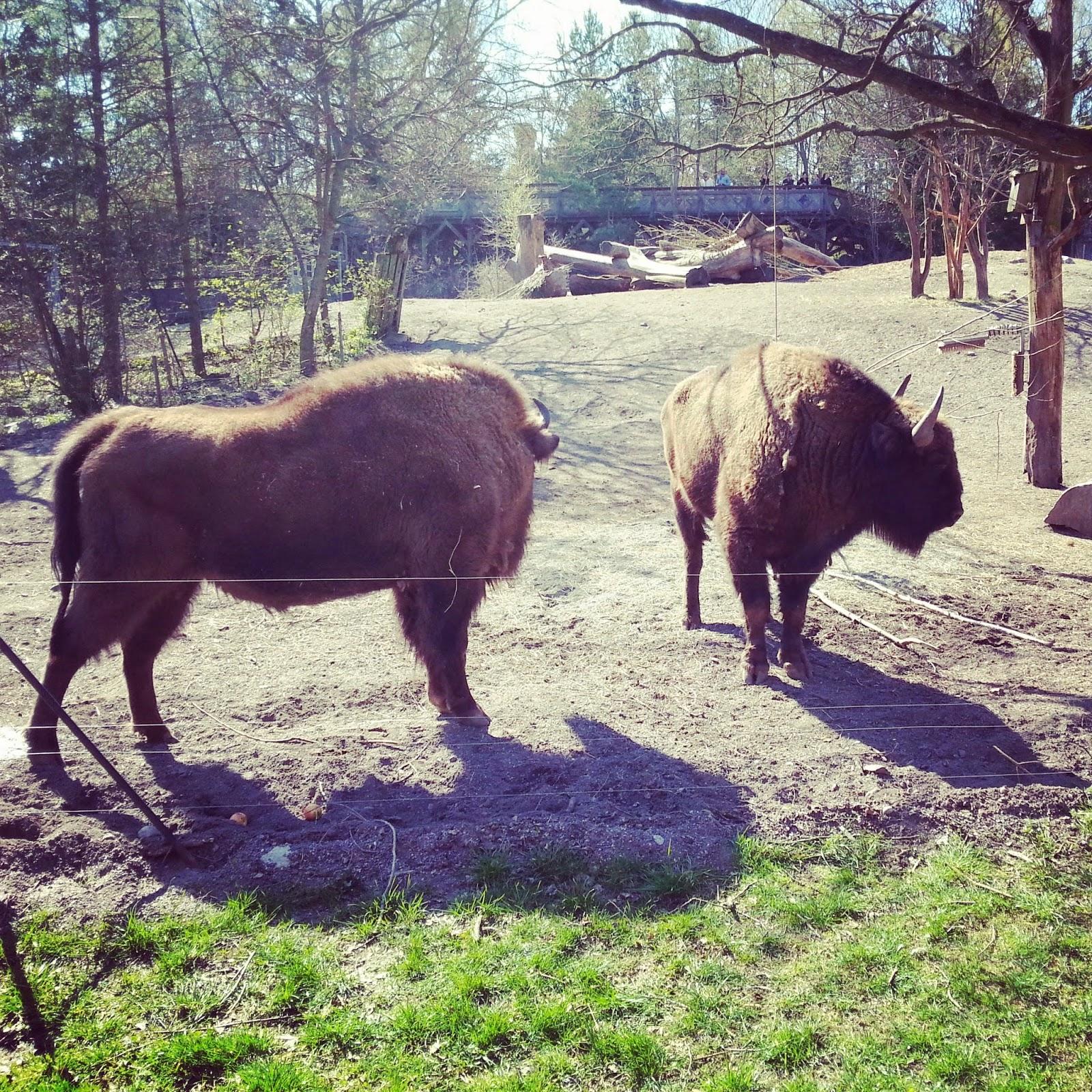európsky bizón v Skansene
