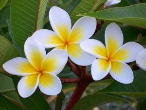 Taman Bunga Bunga Kamboja Dan Manfaatnya