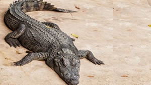 Crocodilo é hospitalizado na Rússia após mulher de 120 quilos cair em cima do animal