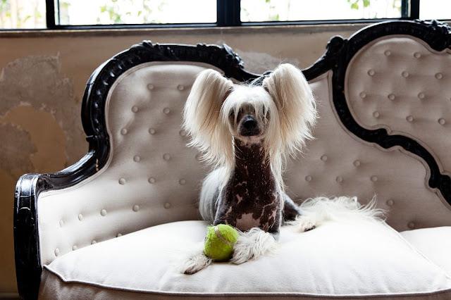 el perro del diseñador sobre un sofa