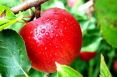 Buah apel Khasiat dan manfaat apel