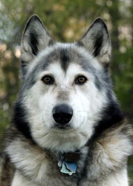 kristen stewarts pet grey wolf-dog named jack