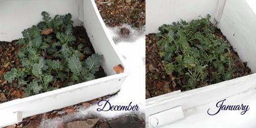Kale through the winter!
