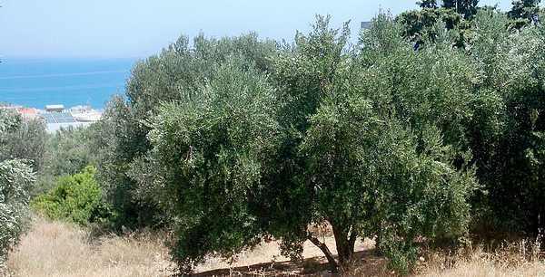 El mediterráneo y el olivo